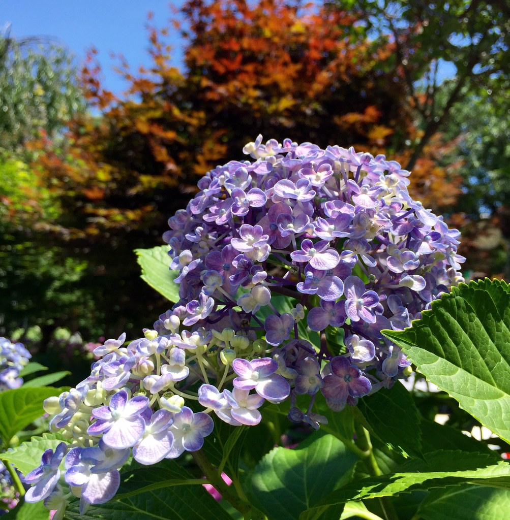 Lavender Hydrangea at Hakusan Shrine