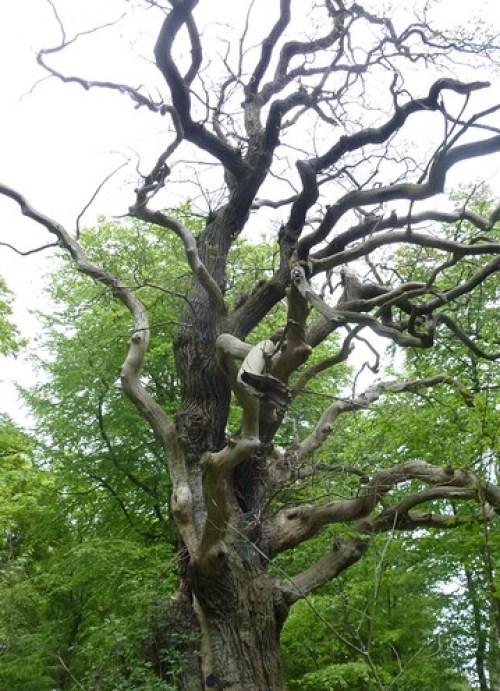 Egetræ Vemmetofte