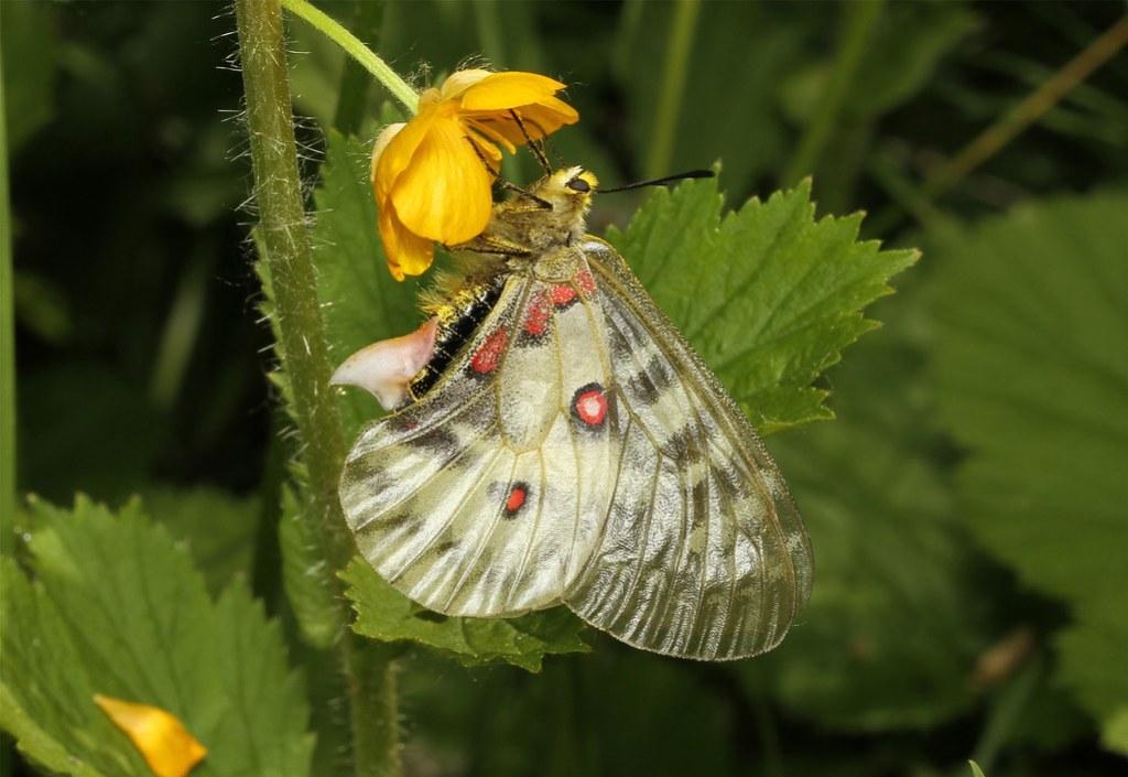 Parnassius clodius ♀ (Clodius parnassian - American Apollo)