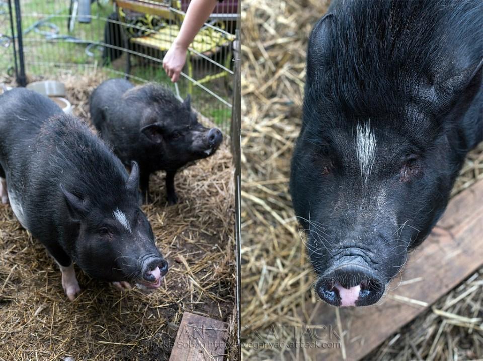 Saved Pigs near Bistro Vonish