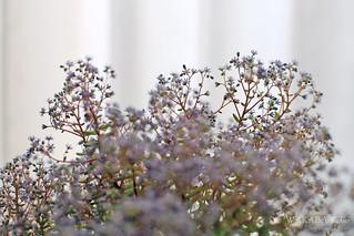 セダムの花 20150522-IMG_3080