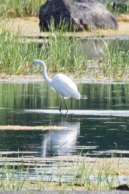 _DSC2748 Great Egret