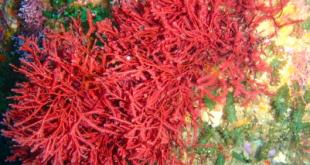 alga merah