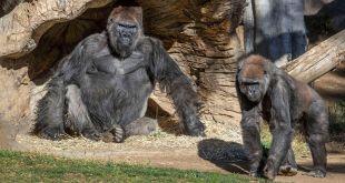 Beberapa gorila positif COVID-19 di kebun binatang San Diego (Foto arsip kebun binatang San Diego)
