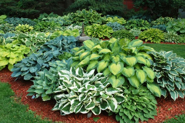 1000 hosta gardening