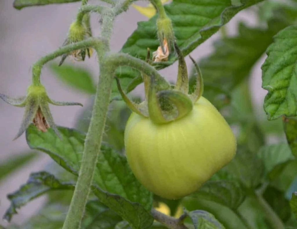Hydroponic Tomato Growing - A How To Guide By Farmer Jer