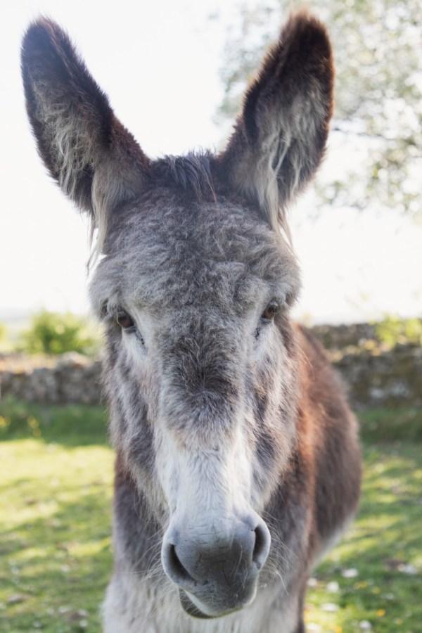 Colin the donkey