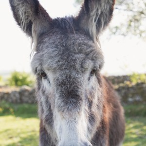 Colin the donkey