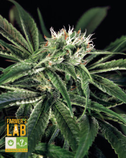 Amnesia feminized seeds : FarmersLabSeeds.com