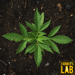 Cannabis Seeds Shipped Directly to Your Door in Kamloops, BC. Farmers Lab Seeds is your #1 supplier to growing Cannabis in Kamloops, British Columbia.