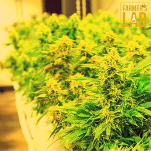 Cannabis Seeds Shipped Directly to Your Door in Saint-Jerome, QC. Farmers Lab Seeds is your #1 supplier to growing Cannabis in Saint-Jerome, Quebec.