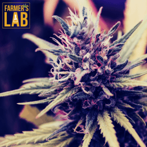 Cannabis Seeds Shipped Directly to Your Door in Saint-Lin-Laurentides, QC. Farmers Lab Seeds is your #1 supplier to growing Cannabis in Saint-Lin-Laurentides, Quebec.