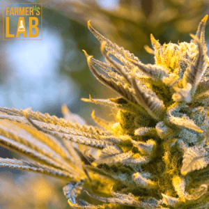 Cannabis Seeds Shipped Directly to Your Door in Shawinigan, QC. Farmers Lab Seeds is your #1 supplier to growing Cannabis in Shawinigan, Quebec.