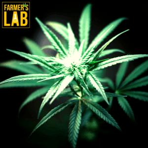 Marijuana Seeds Shipped Directly to Alexandria, MN. Farmers Lab Seeds is your #1 supplier to growing Marijuana in Alexandria, Minnesota.