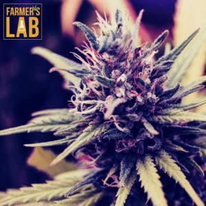 Marijuana Seeds Shipped Directly to Ambridge, PA. Farmers Lab Seeds is your #1 supplier to growing Marijuana in Ambridge, Pennsylvania.
