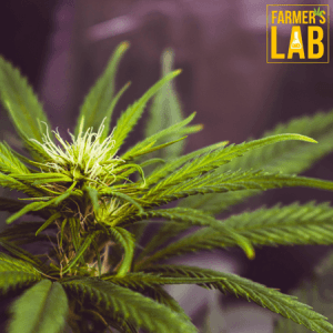 Marijuana Seeds Shipped Directly to Anniston, AL. Farmers Lab Seeds is your #1 supplier to growing Marijuana in Anniston, Alabama.