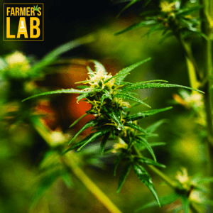 Marijuana Seeds Shipped Directly to Barretts, GA. Farmers Lab Seeds is your #1 supplier to growing Marijuana in Barretts, Georgia.