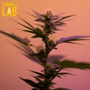 Marijuana Seeds Shipped Directly to Berkley, MA. Farmers Lab Seeds is your #1 supplier to growing Marijuana in Berkley, Massachusetts.