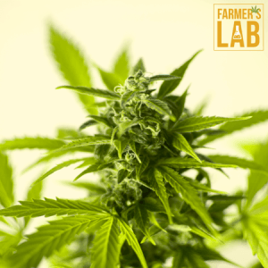 Marijuana Seeds Shipped Directly to Blainville, QC. Farmers Lab Seeds is your #1 supplier to growing Marijuana in Blainville, Quebec.