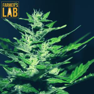 Marijuana Seeds Shipped Directly to Blanchard, OK. Farmers Lab Seeds is your #1 supplier to growing Marijuana in Blanchard, Oklahoma.