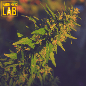 Marijuana Seeds Shipped Directly to Lloydminster, SK. Farmers Lab Seeds is your #1 supplier to growing Marijuana in Lloydminster, Saskatchewan.
