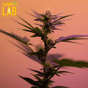 Marijuana Seeds Shipped Directly to Normandin, QC. Farmers Lab Seeds is your #1 supplier to growing Marijuana in Normandin, Quebec.
