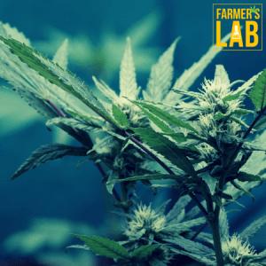 Marijuana Seeds Shipped Directly to Regina, SK. Farmers Lab Seeds is your #1 supplier to growing Marijuana in Regina, Saskatchewan.