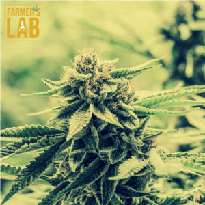 Marijuana Seeds Shipped Directly to Saint-Felicien, QC. Farmers Lab Seeds is your #1 supplier to growing Marijuana in Saint-Felicien, Quebec.