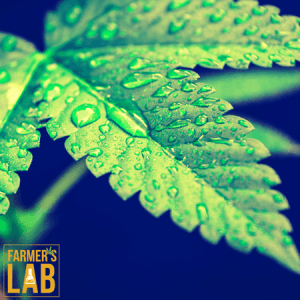 Marijuana Seeds Shipped Directly to Seattle, WA. Farmers Lab Seeds is your #1 supplier to growing Marijuana in Seattle, Washington.