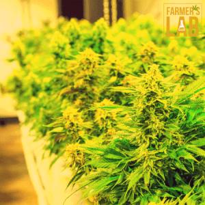 Marijuana Seeds Shipped Directly to University of Virginia, VA. Farmers Lab Seeds is your #1 supplier to growing Marijuana in University of Virginia, Virginia.