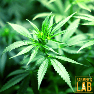 Weed Seeds Shipped Directly to Beach Park, IL. Farmers Lab Seeds is your #1 supplier to growing weed in Beach Park, Illinois.