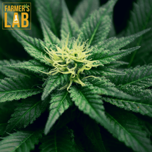 Weed Seeds Shipped Directly to Forestville, QC. Farmers Lab Seeds is your #1 supplier to growing weed in Forestville, Quebec.