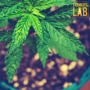 Weed Seeds Shipped Directly to Picayune, MS. Farmers Lab Seeds is your #1 supplier to growing weed in Picayune, Mississippi.