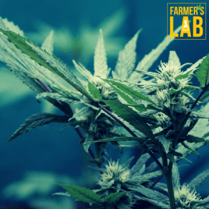 Weed Seeds Shipped Directly to St. Catharines, ON. Farmers Lab Seeds is your #1 supplier to growing weed in St. Catharines, Ontario.