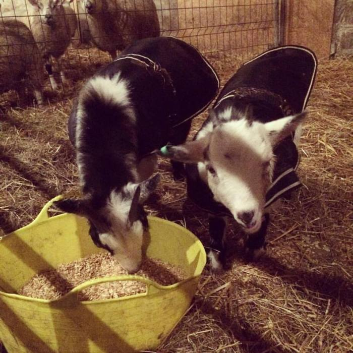 goat-coats