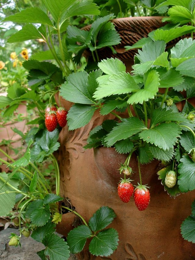 A Strawberry Jar