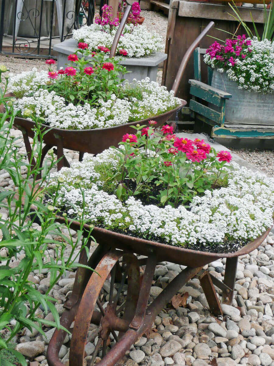 Old Wheelbarrows with Two Tone Flowers