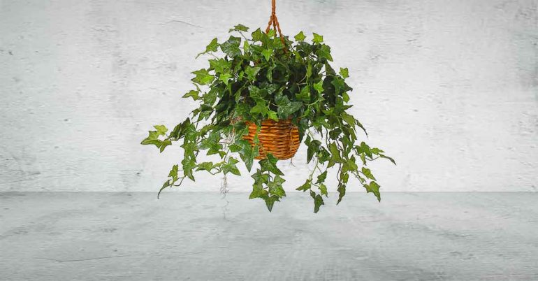 We love the look of English Ivy, but it's not just a pretty face. According to research from the American College of Allergy, Asthma, and Immunology, the climbing vine removes airborne mold.