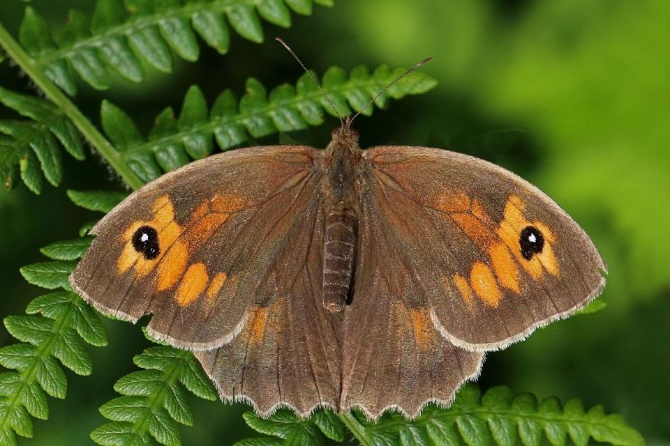 Meadow browns butterfly