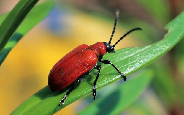 10 Worst Garden Pests: Red Lily Beetle