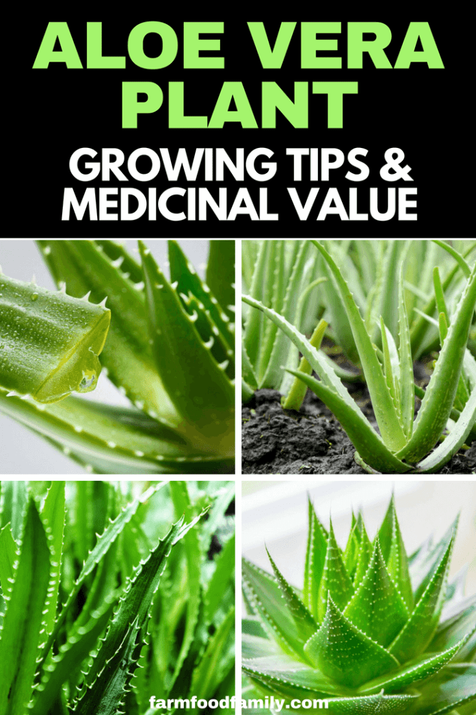 Aloe Vera Plant: Growing Tips, Benefits & Medicinal Value #aloevera #gardeningtips #farmfoodfamily