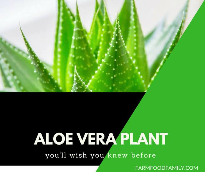Aloe Vera Plant: Growing Tips, Benefits & Medicinal Value