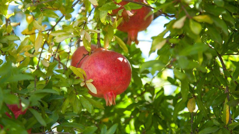 How to grow Pomegranate plant