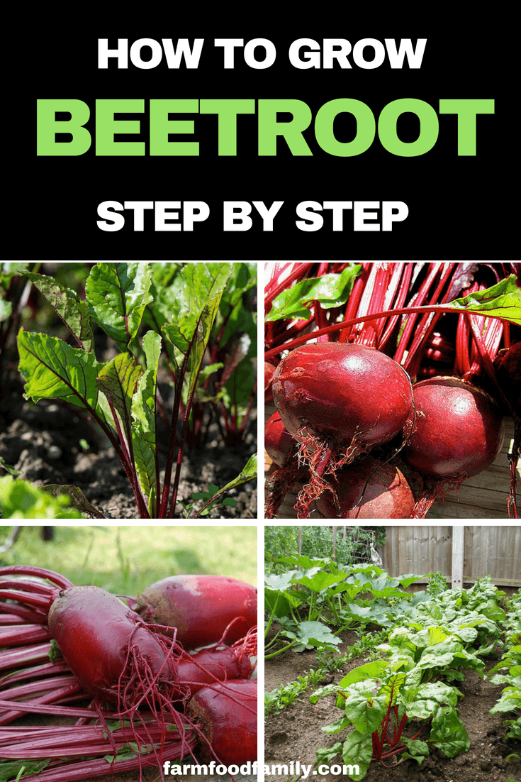 How to grow Beetroot step by step #beetroot #vegetablegarden #gardeningtips #farmfoodfamily