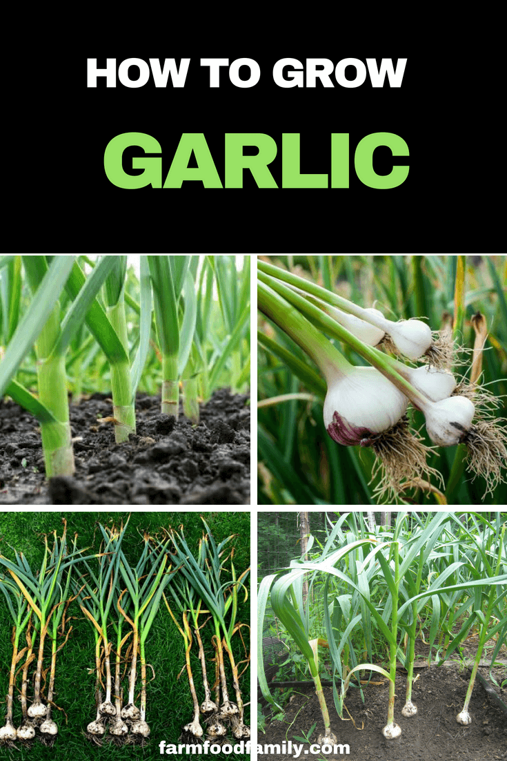 Growing organic garlic in your own garden, however, makes it readily available and guaranteed free of unwanted chemicals. #vegetablegarden #growinggarlic #gardeningtips #farmfoodfamily