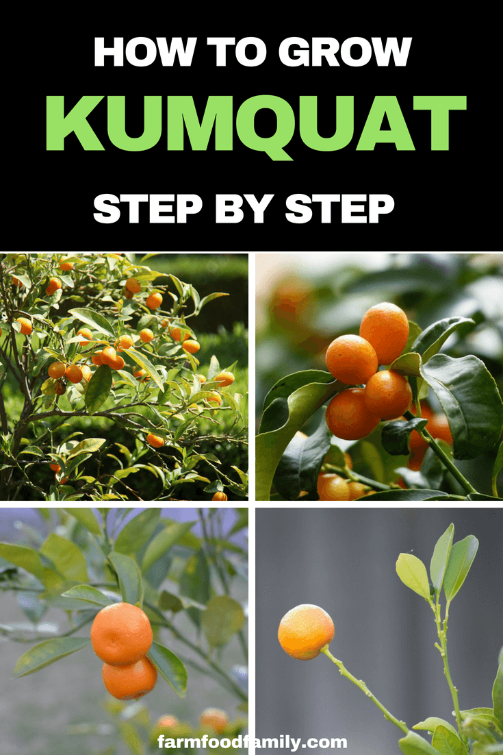 How to grow Kumquat