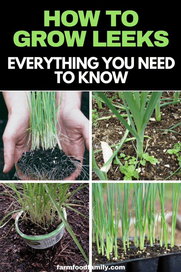 Check out how to grow and care for leeks in your garden #growingleeks #leeks #gardeningtips #farmfoodfamily