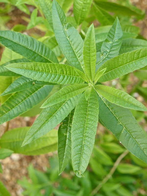 Lemon Verbenas are perennial plants that grow around two to three meters high and have rough but glossy leaves.