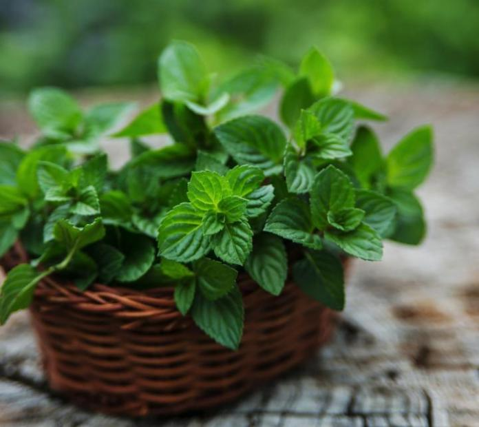 We generally use mint in our daily life in teas or candies to make it even tastier. To repel ants from your garden, nothing can be tastier than mint