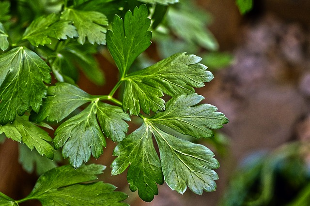 Growing Parsley at home